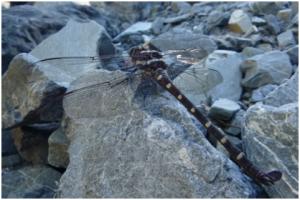 Dragonfly by Orongorongo Burn