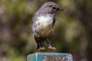 Cobb Valley Birdlife