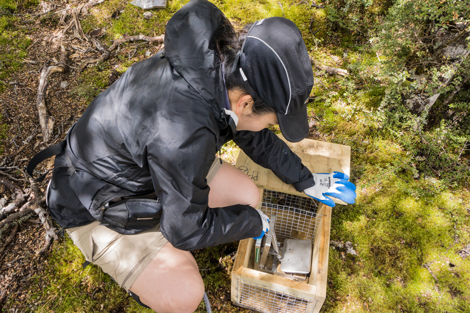 Caryl resetting one of the stoat traps
