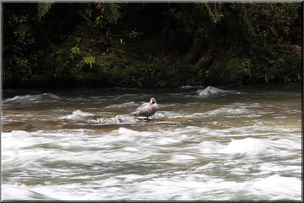 Whio in river