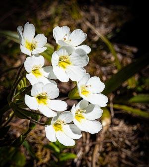 Taranaki flower