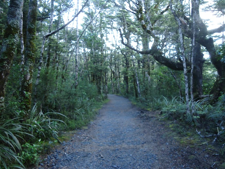 Re-entering beech forest 15 minutes out from reaching Whakapapa Village on the upper track