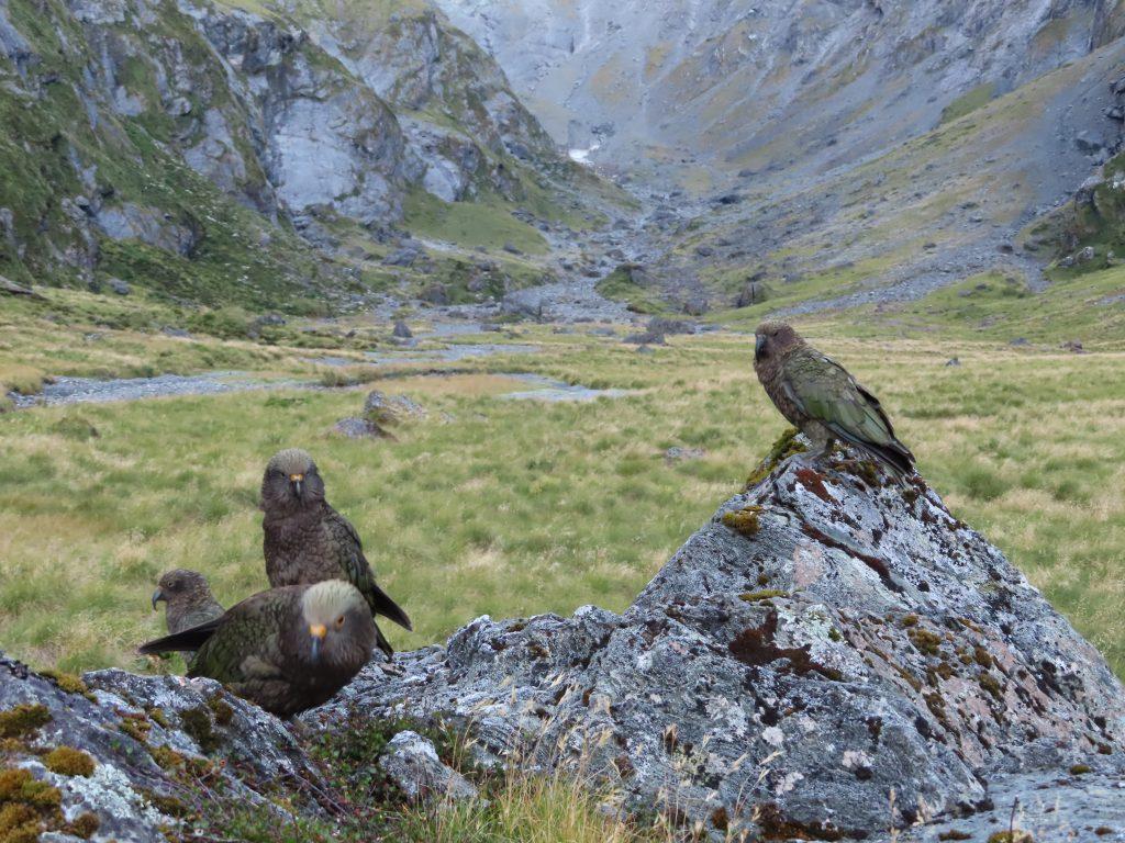 Four Kea sitting on rocks