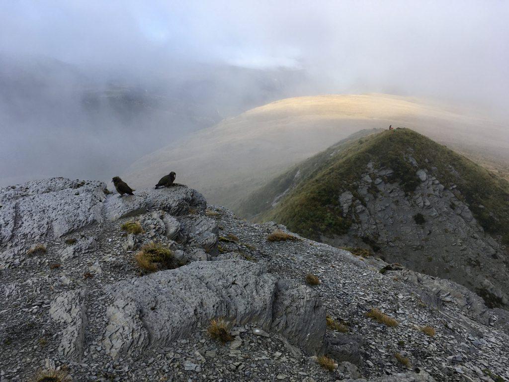 Kea on top of a mountain in cloud