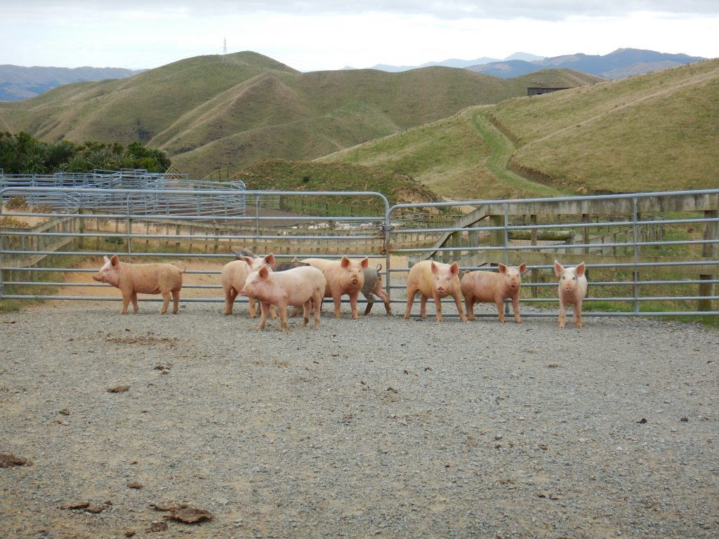 A group of pigs in front of a gate