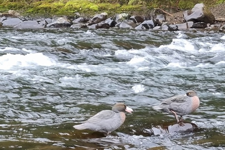Two whio on a river